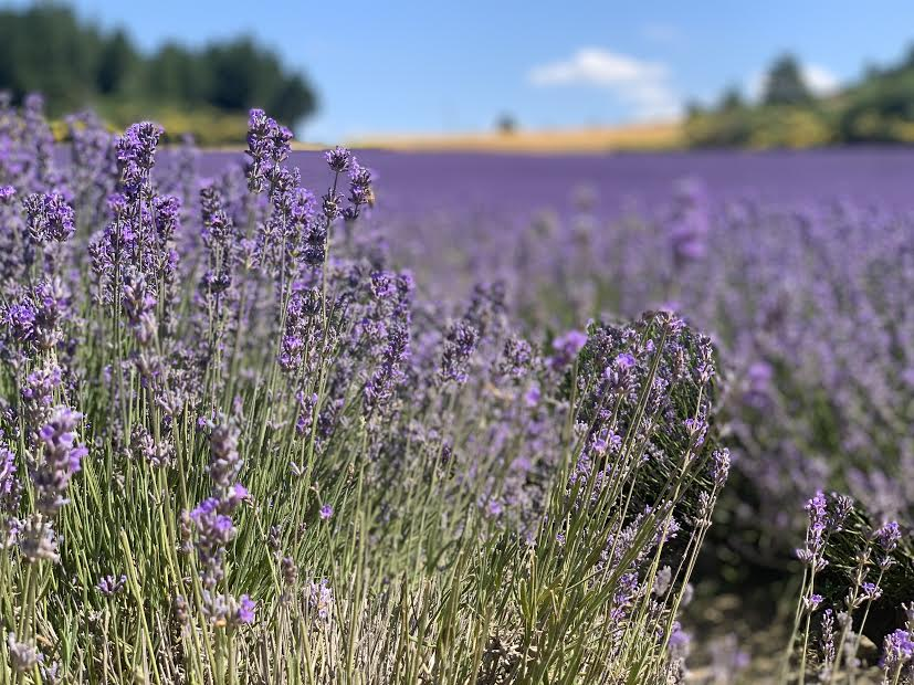 Lavender Fields in Sault, Provence